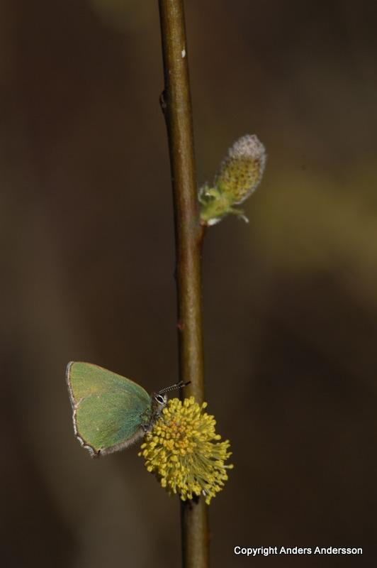 En av vårens första fjärilar. Grönsnabbvinge, Skutberget, Värmland. April 2007.