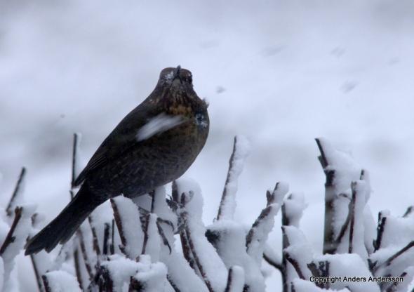 En koltrasthona i kraftigt snöfall. Vallda, Halland januari 2012.