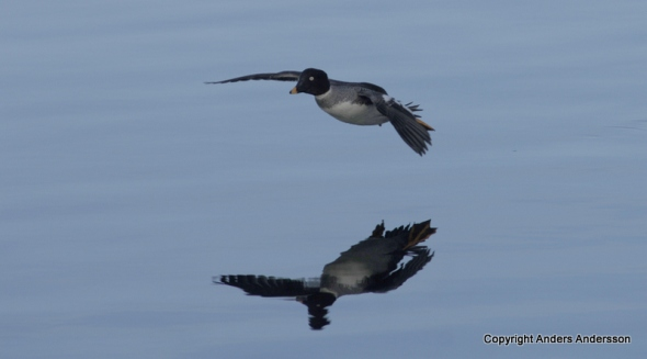 En kniphona glider in för landning.