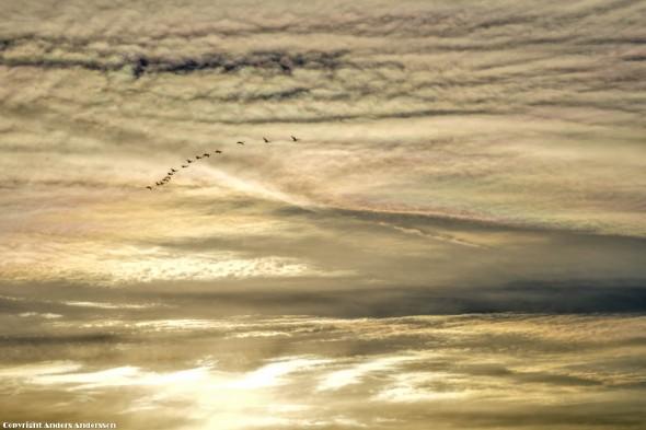 Humlestigen. Bilden tagen på förmiddagen 20121202. Ett gäng gäss flyger västerut mot en fantastisk pärlemorskimrande himmel.
